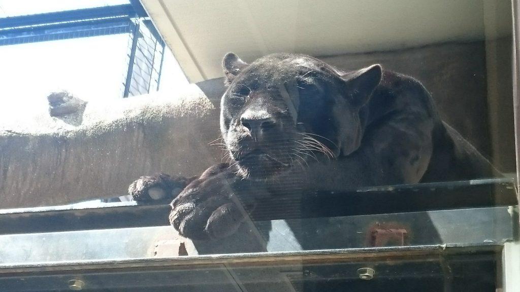 日本平動物園 ジャガー