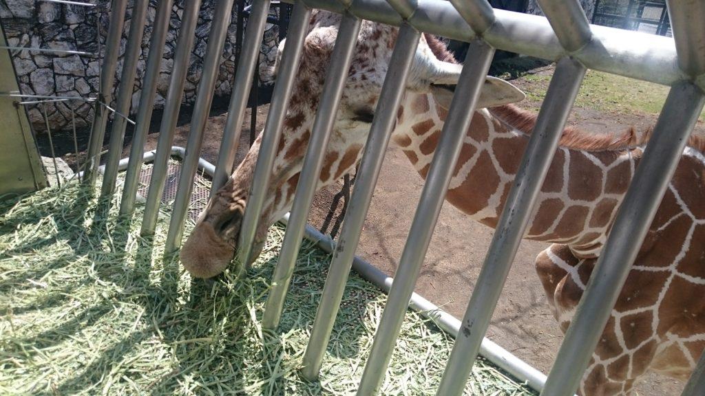 日本平動物園 キリン